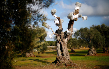 An olive tree is seen at a construction side of a pipeline in a grove of century-old olive trees in the southern Italian village of Melendugno