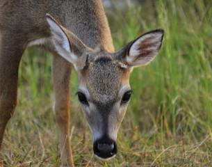 Florida Key Deer in the Florida Keys