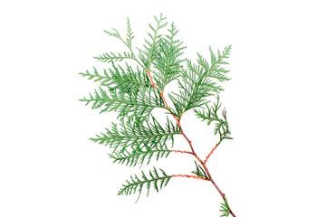 Thuja isolated on white background, evergreen tree, christmas tree