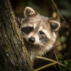Raccoon at Bird Rookery Swamp, Naples, Florida