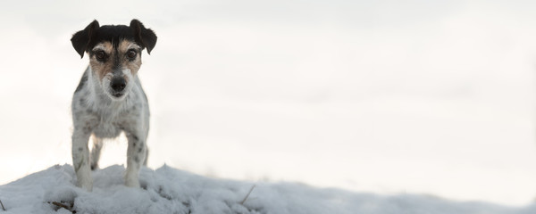 Jack Russell Terrier 9 years old. Proud dog stands on a small hill in the white winter