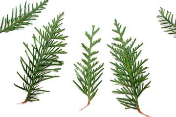 Juniper. Christmas tree. Juniper isolated on white background.