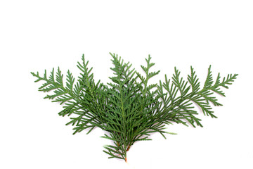 Juniper. Christmas tree. Juniper isolated on white background.