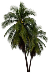 Coconut tree. isolated on white background with a high resolution suitable for graphic. with clipping path