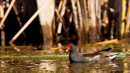 common moorehen swims in marsh
