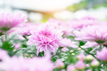 Beautiful pink chrysanthemum in the garden