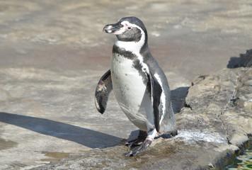 Пингвин Гумбольдта.