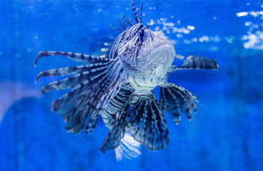 A lionfish is seen at the Aquarium Pula