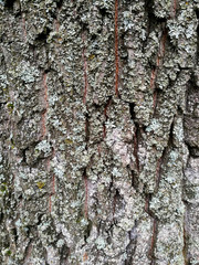 Relief bark of an old tree covered with lichen