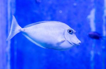 An elongated unicornfish is seen at the Aquarium Pula
