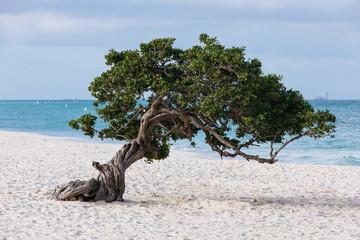 tree on the beach in Aruba