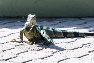 Iguana in Aruba