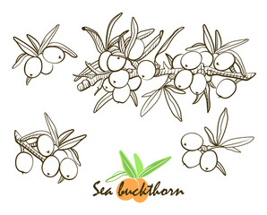 The sea buckthorn hand drawn graphics elements black and white. Hand drawn botanical sketch style.  Elements for menu, greeting cards, wrapping paper, cosmetics packaging, labels, tags, posters etc