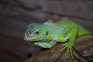 green iguana on a branch
