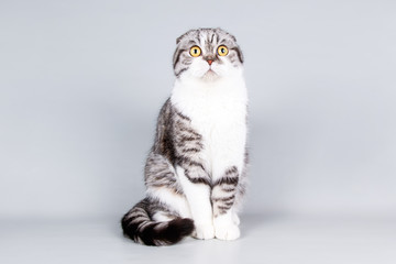 Scottish fold shorthair cat on colored backgrounds