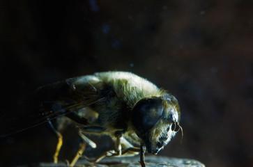 Nahansicht einer Fliege