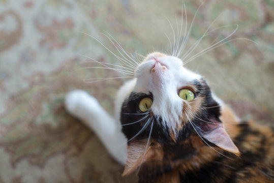 Calico Cat with Yellow Green Eyes Looking Up