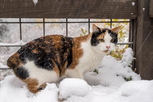 Manx Calico Cat Outside Enjoying Winter Snow