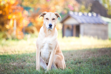 Mixed breed labrador rescue dog  in autumn garden