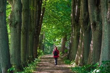 GERMANY, SCHAALSEE, ZARRENTIN . Woman walking alone along a beech tree alley at lake Schaal in eastern Germany