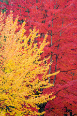 Yellow On Red Autumn