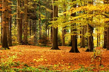 goldener Herbstwald, herbstliche Lichtung im Mischwald, waldbaden als Meditation