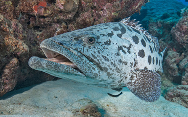 Grouper up close in Australia