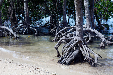 Laiya, San Juan, Batangas, Philippines - May 28, 2017: Mangrove roots on white sand beach close up