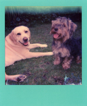Flat scan of a Mint green square frame polaroid of two pet dogs, a labrador and yorkie on grass.