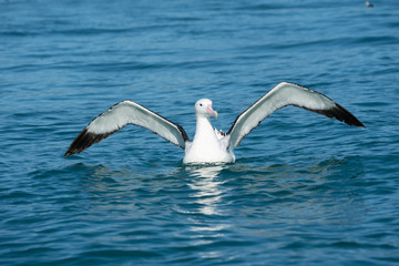 Wandering Albatross spreading its wings 1
