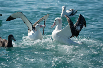Wandering Albatross fighting