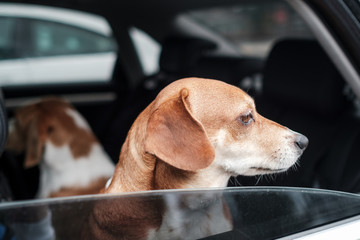 Mixed Breed Dog Inside the Car