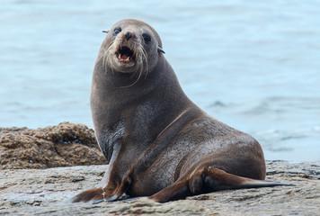 Angry adult sea lion