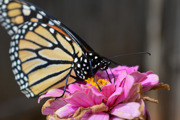 Monarch butterfly on a small flower
