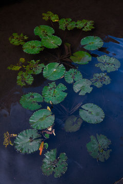 water lily in the jungle