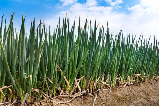 ねぎ畑。農業。成長した収穫前のネギ。