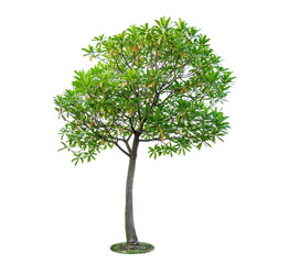 Tree isolated on white background. Beautiful and robust trees are growing in the jungle, garden or park.