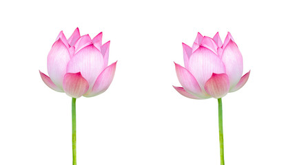 Twin Lotus, Pink lotus flower isolated on white background. File contains with clipping path.