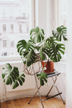 Monstera in a room decorated with small discoballs