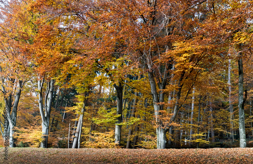 Wall mural idyllic beech forest in intense fall colors in late autumn as nature background