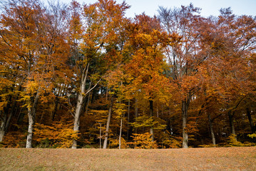 Wall Mural - idyllic beech forest in intense fall colors in late autumn as nature background