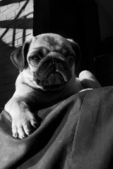 Black and white, portrait of a pug.