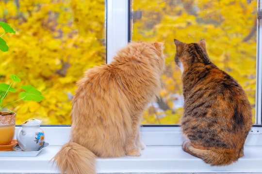 A red cat and a beautiful American multicolored cat sit on a windowsill against the backdrop of an autumn tree with yellow leaves.