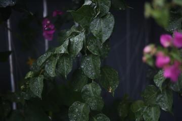 Pink flowers and dark green leaves under the rain. Wet plant in the garden. Garden wallpaper. Rainy mood. Wet nature