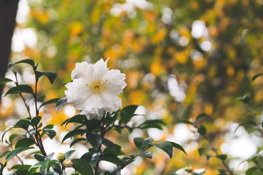 White Camellia Flower in Bloom with during Springtime