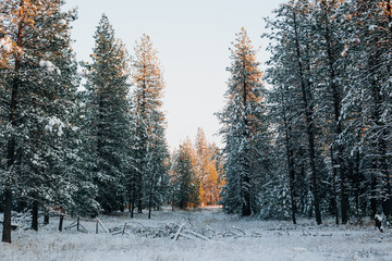 Sunset light on snow covered pine trees.