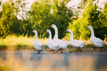 White Geese Crossing The Road In The Countryside.