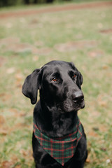 Portrait of Black Labrador Retriever Wearing Bandana