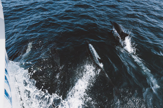 Dolphins Playing In The Surf Of A Boat