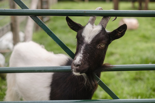 Goat looking through a closed gate
